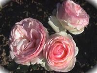 Photo pouvant illustrer la rubrique des anniversaires : les roses Pierre de Ronsard roses et blanches sur fond sombre sont magnifiques