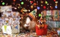 Image anniversaire fête, cochon d'Inde