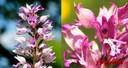Orchidée_orchis militaire