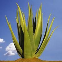 Plante d'Aloe Vera
