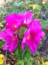 La rue du 19 nov : le rosier du Japon en fleurs