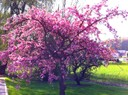 Cerisier japonais en fleurs