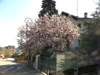 Magnifique magnolia dans le Dennach