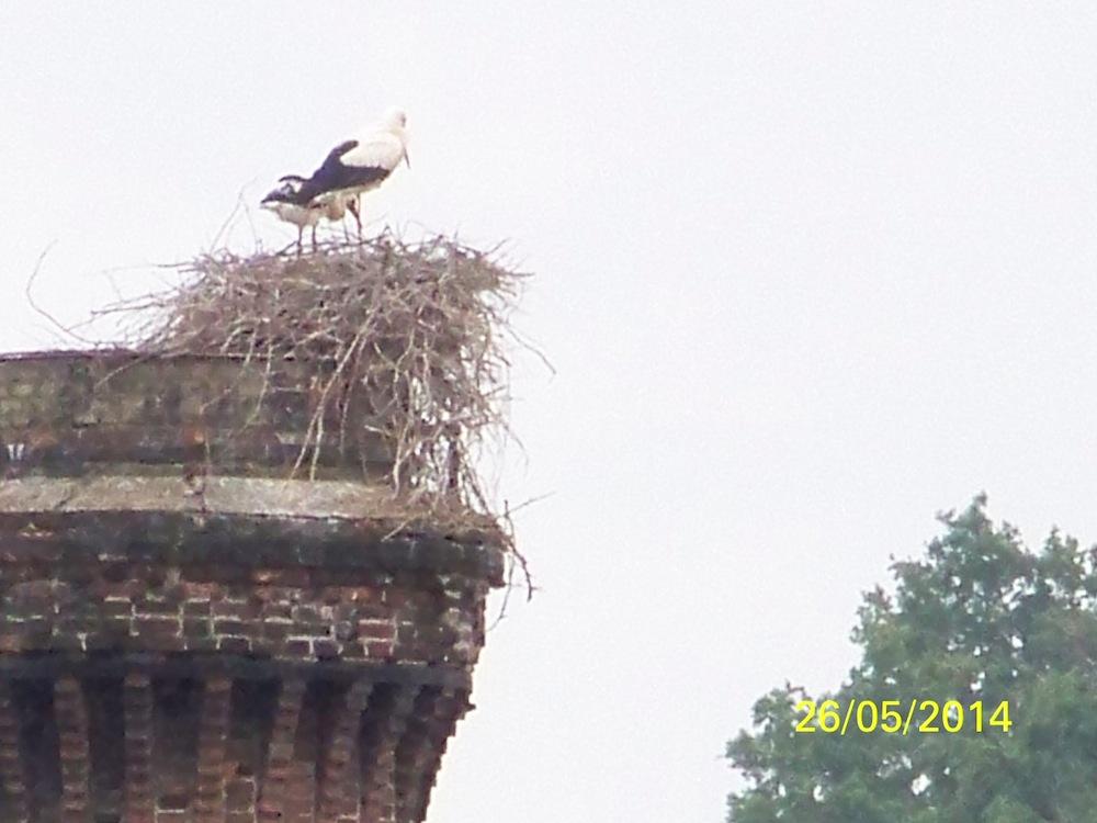 2 cigogneaux au bord du nid