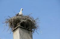 Cigogne dans son nid