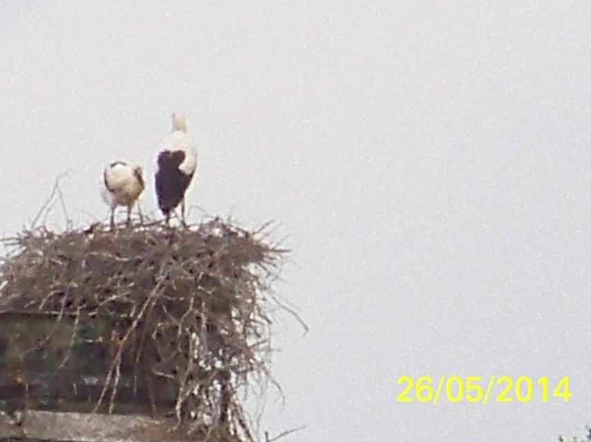 Cigogneaux au bord du nid