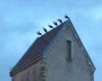 6 cigognes sur le toit de l'église de Waldighoffen - zoom