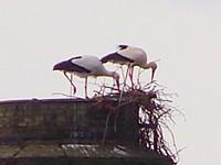 Gros plan sur la construction du nid de cigognes