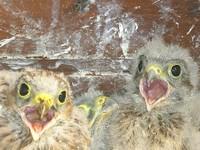 2 bébés faucon crécerelle le bec ouvert à Waldighoffen - le 26/06/2011