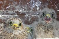 3 bébés faucon crécerelle à Waldighoffen - le 26/06/2011