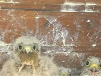 3 bébés faucon crécerelle dont un mangeant une souris à Waldighoffen - le 26/06/2011