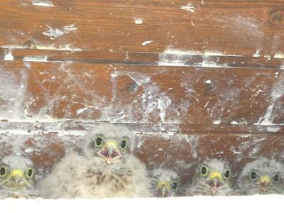 5 bébés faucon crécerelle à Waldighoffen - le 26/06/2011