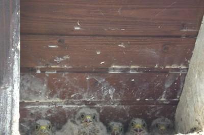 Les 5 bébés faucons crécerelle alignés sous un toit à Waldighoffen - le 26/06/2011