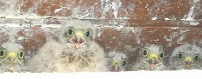 Bébés faucon crécerelle en bandeau à Waldighoffen - le 26/06/2011
