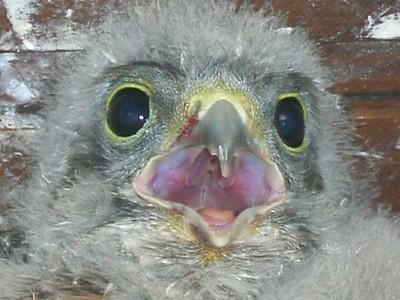 Gros plan d'un bébé faucon crécerelle à Waldighoffen - le 26/06/2011