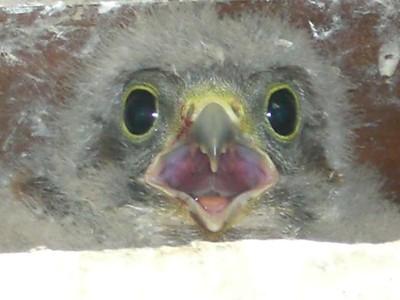 Tête de bébé faucon crécerelle à Waldighoffen - 26/06/2011